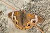 Common Buckeye (Junonia coenia) (aliceinwl1) Tags: arthropod arthropoda brushfootedbutterfly buckeye butterfly ca california clearcreek clearcreek2016 clearcreekmanagementarea commonbuckeye insect insecta junonia junoniacoenia junoniini lepidoptera nymphalidae nymphalinae papilionoidea sanbenitocounty coenia locpublic viseveryone
