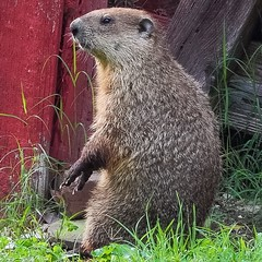 Fat Shady (Baky) Tags: woodchuck groundhog whistlepig