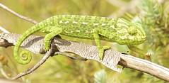 IMG_8747 (Sula Riedlinger) Tags: portugal nature reptile wildlife algarve chameleon riaformosa chamaeleochamaeleon portugalnature mediterraneanchameleon commonchameleon portugalwildlife