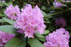 IMG_3028.JPG (robert.messinger) Tags: flowers rhodies