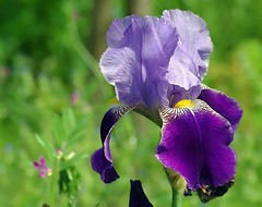 Iris3 (mamietherese1 in vacation) Tags: wow earthmarvels50earthfaves phvalue