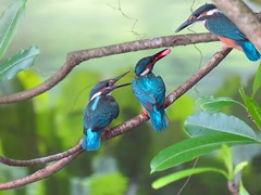When is my turn (Eva Tc Chang) Tags: feeding taiwan kingfisher