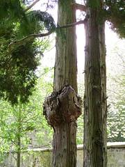 Escher leaves (Nekoglyph) Tags: trees green church stone yorkshire historic churchyard trunks kirkdale stgregorysminster