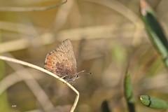 Lutin brun / Brown Elfin (alain.maire) Tags: canada nature insect quebec lepidoptera bog insecte lycaenidae lpidoptre tourbire callophrysaugustinus brownelfin lutinbrun