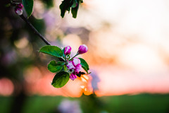 (jakub.sulima) Tags: pink flowers trees light sunset orange plants naturaleza brown sun sunlight white plant flores flower tree green apple nature leaves sunshine yellow garden outside 50mm gold golden evening leaf flora nikon colours natural blossom bokeh outdoor natur meadow vivid poland polish bloom serene nikkor 18 d3200 bokehlicious