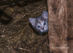 Les chats de la ferme- Cats farm (MichelGurin) Tags: ca  canada nature cat nikon chat exterior farm qubec extrieur qc ferme 2016 nikon2470 easthereford michelgurin nikcollection googlenikcollection tousdroitsrservsallrightsreserved lightoomcc