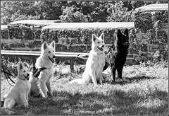 watching (Fay2603) Tags: en white black dogs nature monochrome animals bench tiere outdoor natur watching bank ears german gras uni attention schwarz hunde shephard ohren schferhund weis einfarbig wachsam gespitzte