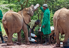 David Sheldrick Elephant Orphanage - Alamaya 3 (Grete Howard) Tags: safariinafrica safari whichsafaricompany bestsafaricompany calabashadventures travel holiday africa kenya elephants davidsheldrickwildlifetrust elephantorphanage wildelife animals nairobi