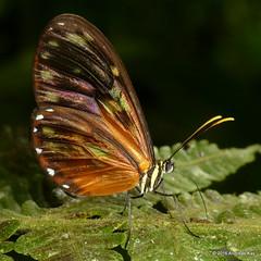 Clearwing butterfly (Ecuador Megadiverso) Tags: butterfly ecuador nymphalidae glasswing danainae clearwing ithomiini jardinecobotanicomindo