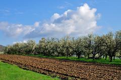 Un jour de printemps (Excalibur67) Tags: sky cloud white nature landscape spring nikon contemporary sigma ciel nuages paysage blanc printemps frhling d90 1770f284dcoshsmc