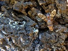 Automola rufa (carlos mancilla) Tags: insectos flies moscas olympussp570uz automolarufa
