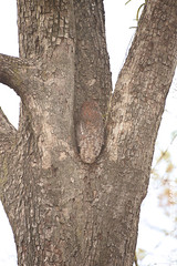 Mottled Wood Owl hidden in a tree (Robbert met dubbel B) Tags: park wood india tree nature wildlife indian reserve boom safari national owl april 29 29th mottled 2016 indische tigerreserve nationaal tadoba woodowl bosuil andhari
