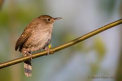 House Wren (Troglodytes aedon) (danielusescanon) Tags: ohio wild animalplanet housewren troglodytesaedon mageemarsh birdperfect