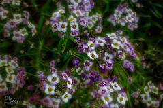Purple and White Flowers (Digital Lady Syd) Tags: flowers carpet sweet royal alyssum harrypleugardens purpleandwhiteflowers