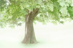 treeness (Hal Halli) Tags: tree green nature flora wallart solo shining homedecor coth inspiredbylove artdigital flickrunitedaward magicunicornverybest