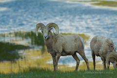 Bighorns in the morning (mghornak) Tags: bighornsheep ram sheep canon canoneos50d wildlife nature animal morning sheeplake rockymountainnationalpark june2016