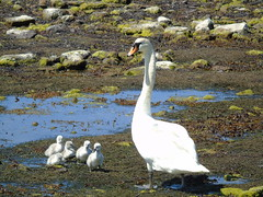 Pen with her cygnets (stuartcroy) Tags: pen swan orkney island scotland beautiful bird beach bay cygnet water