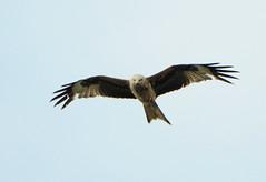 DSC_5131 Red Kite (PeaTJay) Tags: uk england birds outdoors reading gb tamron berkshire birdsofprey redkite lowerearley nikond300s