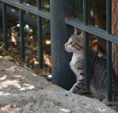 DSC_6511 (m.genca) Tags: kitty grecia gatto pussy gatti greece d7000 cucciolo nikon marcogenca genca marco pretty peace pace felino felini gato micene peloponneso kot micio mici cat cats feline cuccioli europe europa european summer 2016 baby new