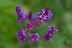Purple Sage Floaters... (zoomclic) Tags: canon closeup colorful 7d flower foliage spring soft dof dreamy purple plant nature bokeh zoomclicphotography f12