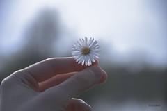 Tratinica (Daisy) (Kuzz1984) Tags: dof daisy tratinica