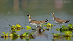 Together we Stand!!! (Anirban Sinha 80) Tags: nikon d waterbird 500mm wetland plumage 610 vrii