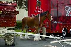 DSC_0068-a19 (stumbleon) Tags: california people horse beer truck team nikon nikond70s demonstration budweiser fairfield hitch peterbuilt heavyhorses anheuserbusch solanocounty clydsdale beerwagon demonstrationteam kttrailer horsehandelers