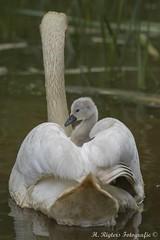 Knobbelzwaan - Mute Swan - Cygnus olor (H.Rigters) Tags: bird nature swan nikon natuur vogel muteswan cygnusolor zwaan cygnus d600 knobbelzwaan olor nikon300mmf4