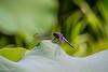 Dragonfly (Yorkey&Rin) Tags: 2016 7月 dragonfly em5 japan july lotus machida olympus olympusm75300mmf4867ii rin t7191486 tokyo yakushiikekouen トンボ゙ 大賀ハス 町田市 東京都 薬師池公園 蓮 ngc