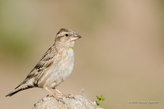 Rock Sparrow (Esmaeel Bagherian) Tags: rocksparrow bird birds birdsphotography birdwatching birdsofiran esmaeelbagherian 2016 1395 nature nikon nikond7000 tamron        150600
