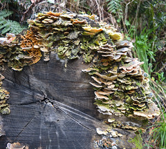 National Rhododendron Gardens (graeme37) Tags: elements rot funghi log