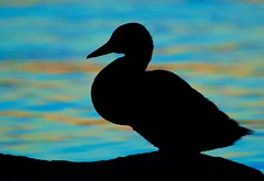 Mallard Silhouette in Full Color (imageClear) Tags: color wildlife duck mallard profile silhouette aperture nikon d500 sigma sigmacontemporary sigma150600mm imageclear flickr photostream