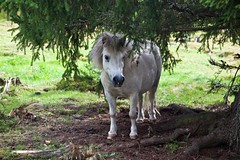 The favoured resting place (estenvik) Tags: 2016 august eggemuseum erikstenvik estenvik sommer hest horse ponni pony beutw pasture steinkjer norway
