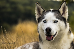 Beautyful Husky (Melanie Martinu) Tags: dog hund husky beautyful blue eyes pet tier natur nature outdoor portrait model gras
