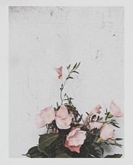 The flower bloomed and faded. (Peter Tatsis) Tags: art artistic artist artifact folk fashion flowers flickr photography pale paleblue polaroid palegrunge landscape london sky hipster hot indie inspiration perfect blue boho boy cold dope dark sad style sea scenery nature tumblr travel retro romantic roses rose