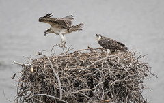 Checking out the wings (kf55) Tags: bird colorado nest grandlake osprey baby