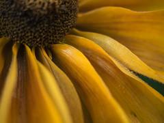 Echinacea - morning dew II (rainerralph) Tags: makro bokeh olympus macro echinacea objektiv1240pro flower blten morgentau outdoor omdem5markii sonnenhut garten blumen