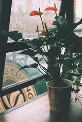 Mt Ngy Ma ng (Hunh Thanh Thng) Tags: rain winter viet nam  lt film fujifilm ft canon flower hoa  xanh ca xtra 400