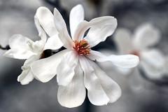 white magnolia blossom (LotusMoon Photography) Tags: flowers white macro nature spring magnolia closeups