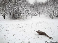 Seara (sea rabbit) on the snow covered ground on March 5, 2015. The Northeastern United States experienced another very cold (far below average temperature) and longer winter months during 2014 and 2015. 20150305 027=3030=22. NYC (searabbit22) Tags: snow ny newyork sexy celebrity art hat fashion animal brooklyn painting asian coneyisland japanese star costume tv google king artist dragon god cosplay manhattan wildlife famous gothic goth performance pop taxidermy cnn tuxedo bikini tophat unitednations playboy entertainer takeshi samurai genius mermaid amc johnnydepp mardigras salvadordali unicorn billclinton billgates aol vangogh curiosities sideshow jeffkoons globalwarming takashimurakami pablopicasso steampunk yamada damienhirst cryptozoology freakshow barackobama seara immortalized takeshiyamada museumofworldwonders roguetaxidermy searabbit ladygaga climategate minnesotaassociationofroguetaxidermists
