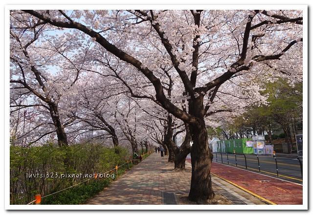 여의도벚꽃04