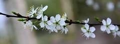 Blackthorn (Sloe) Prunus spinosa (Joan's Pics 2012) Tags: flowers white tree explore blackthorn