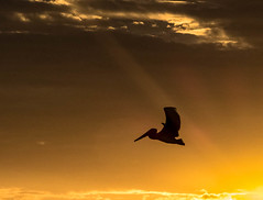 """P1020691.jpg 2  .1 (ChanHawkins) Tags: light sunset brown beach costarica pelican samara lumixfz1000""""bird"""