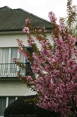 Enamoured Spring (Natali Antonovich) Tags: architecture spring blossom balcony cherryblossom cherrytree enamouredspring