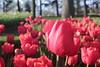 _MG_4287 (Gökmen Kımırtı) Tags: flower tulip 2015 emirgan laleler