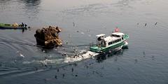 -- (m-miki) Tags: japan island nikon seagull  sado    d610