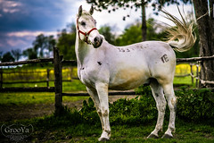 The white horse (GrooYa SRB) Tags: horse pet white nature beautiful animal nikon pretty steed majestic magnificent stallion d610