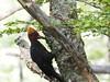 Woody Woodpecker (Unvoyageur) Tags: chile tree woodpecker pic arbre huerquehue regiondeloslagos campephilusmagellanicus magellanicwoodpecker picdemagellan