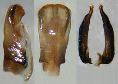 Belostoma stollii, male genitalia (Wolfram Sondermann) Tags: colombia head victoria dorsal caldas genitalia elllano belostomatidae pronotum nepomorpha nepoidea heeroptera taxonomy:binomial=belostomastollii