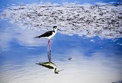 Wader (JasPrS) Tags: nature animals wildlife lakes waterfowl ponds